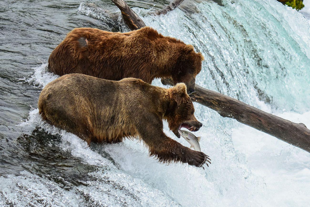 Bear Salmon Photo