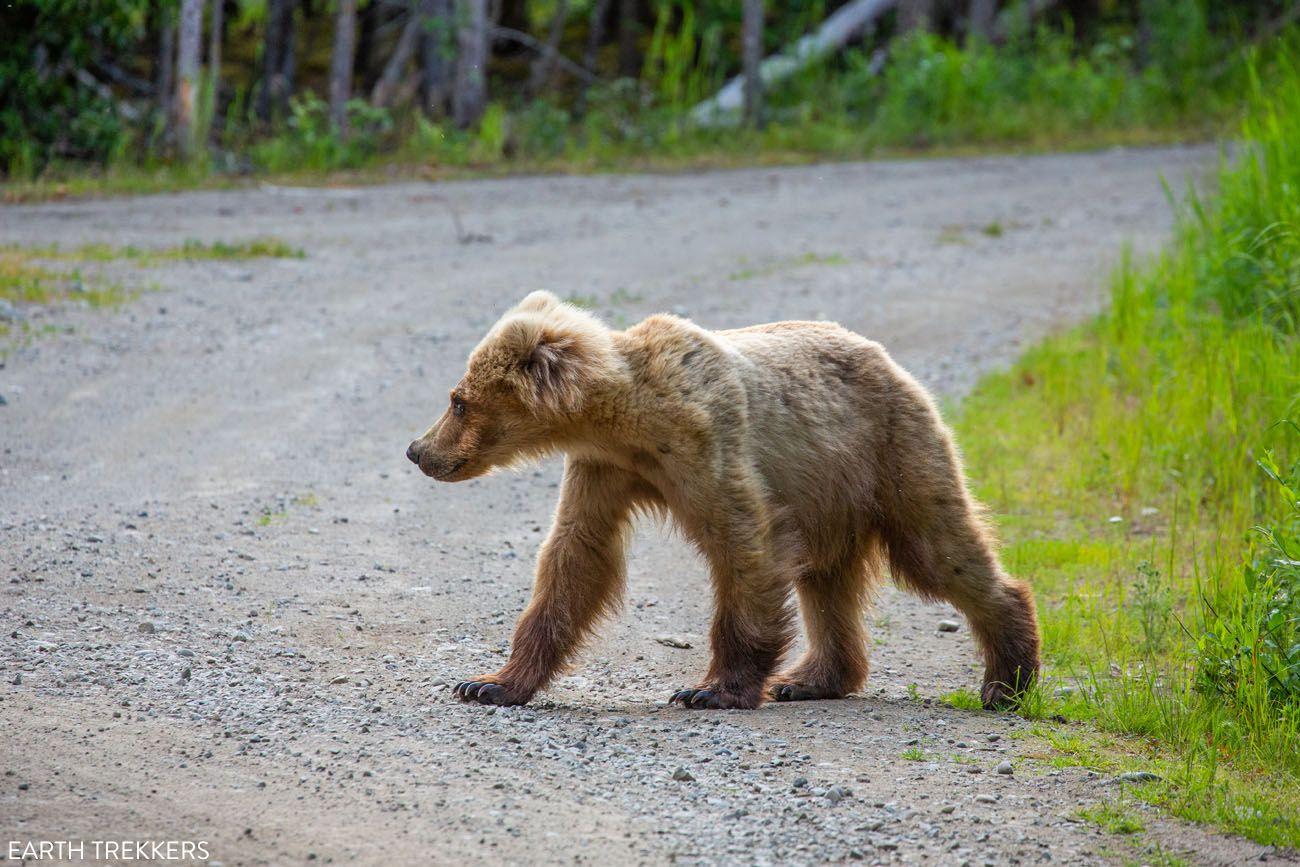 Bear on Lake Brooks Road