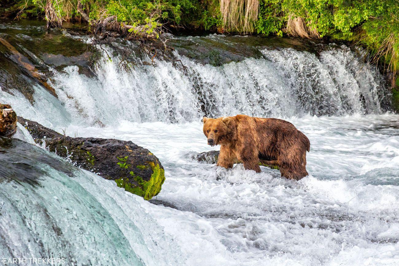 Brooks Falls Bear