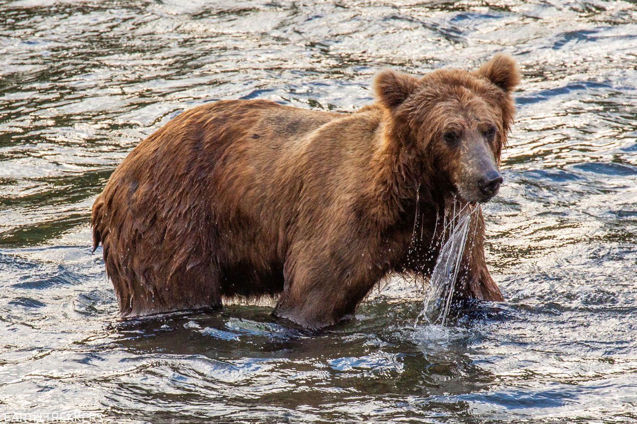 Brown Bear Brooks River