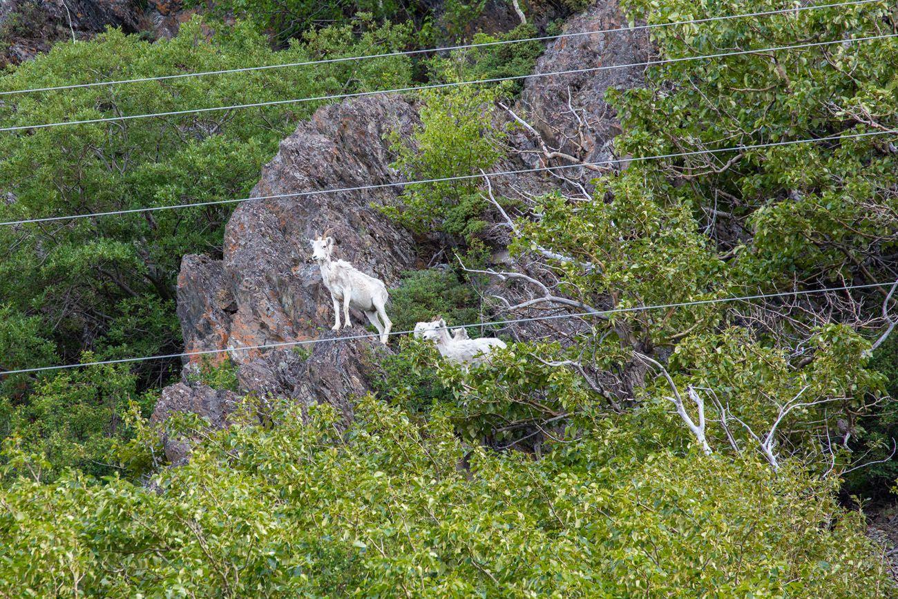 Dall Sheep Seward Highway Photo