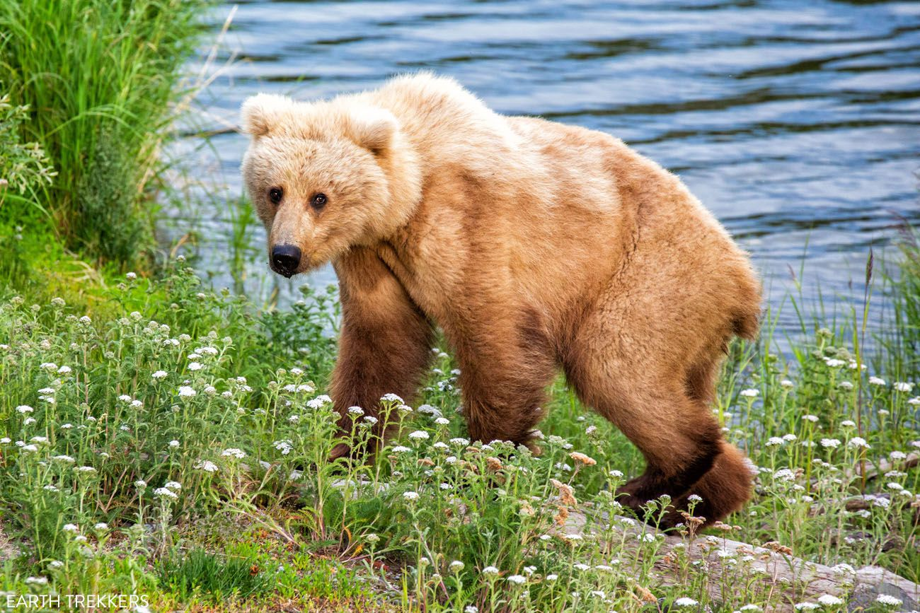 Katmai in July best things to do in Katmai National Park