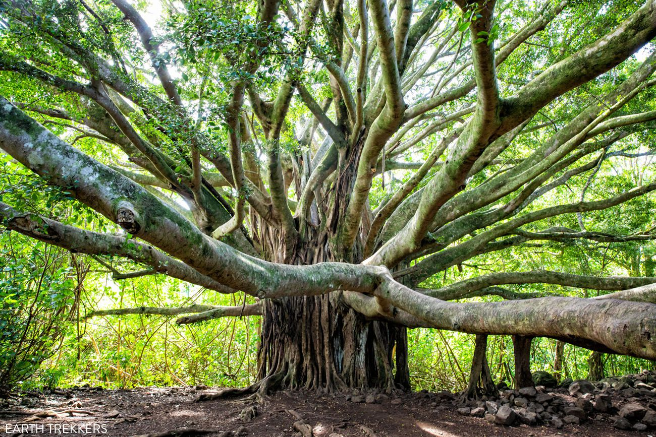 Road to Hana Banyan Tree