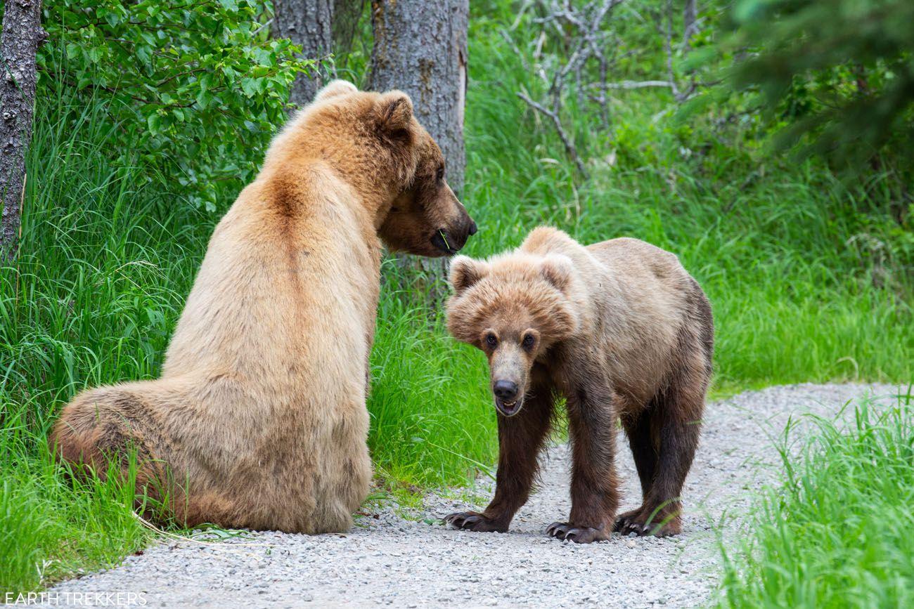 Sow and Cub Katmai