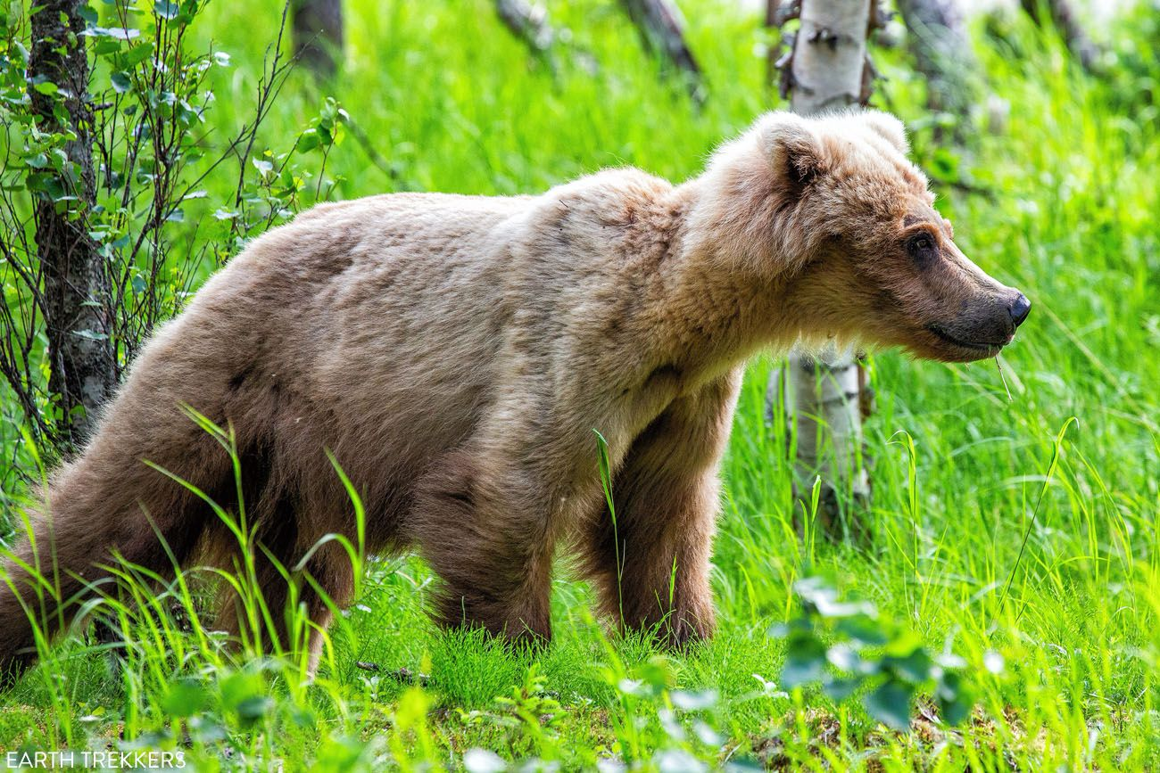 Young Bear in Katmai best things to do in Katmai National Park